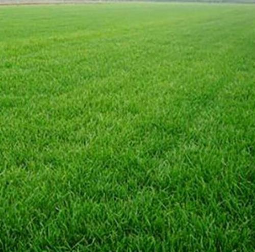 北京草坪_春风草坪基地质优价廉_草坪