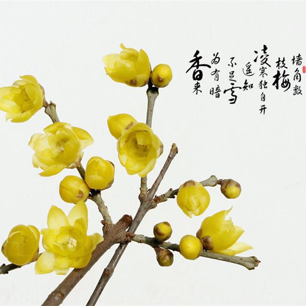 室内庭院浓香型花卉蜡梅嫁接素心腊梅花树苗黄梅花苗盆栽盆景树桩