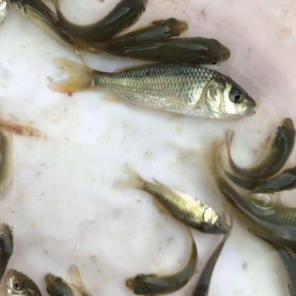 内蒙古乌海光鲈鱼攻略,宜昌湖北南宁倒刺苗加州到云南的v鲈鱼鱼苗图片