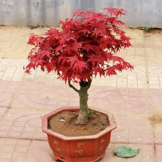 供应  日本红枫树苗 红枫小苗彩色苗木庭院花卉植物盆栽