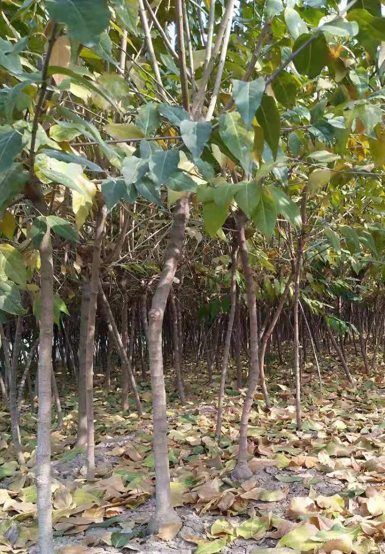 鄢陵众程园林有限公司供应高杆腊梅2-10公分规格齐全 树形好