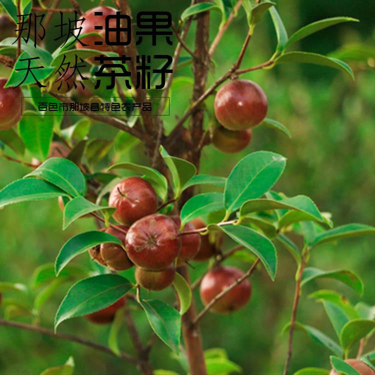 廣西那坡縣特產 山茶籽油籽 榨油原料 茶樹籽帶殼榨油原料