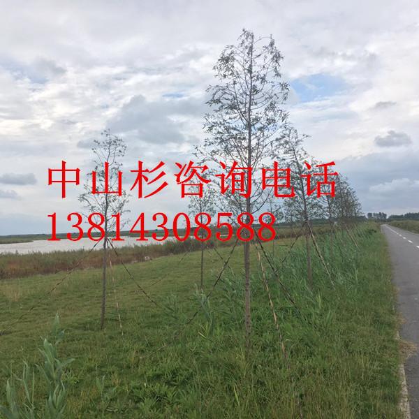 南京12公分中山杉