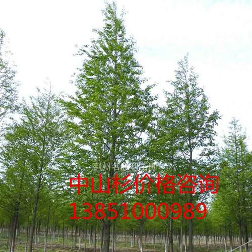 优质14公分中山杉 优质16公分中山杉