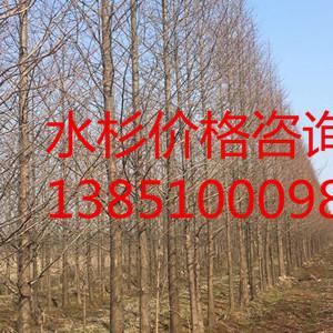 17公分水杉 18公分水杉