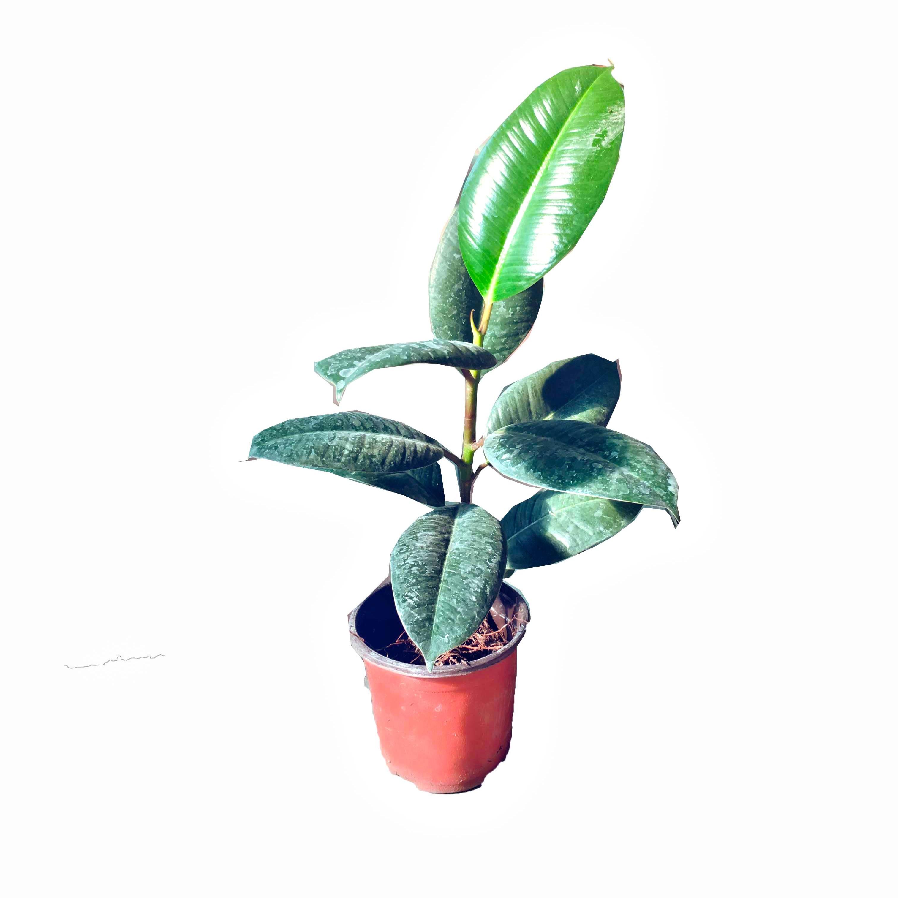 蓝达 黑金刚橡皮树盆栽 新家装修吸甲醛净化空气绿植四季常青客厅植物