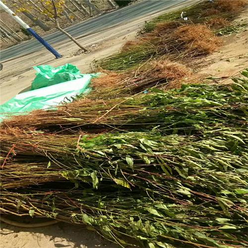 供应 冬桃苗 冬桃树苗 嫁接桃树苗 晚熟品种 优质丰产 效益高
