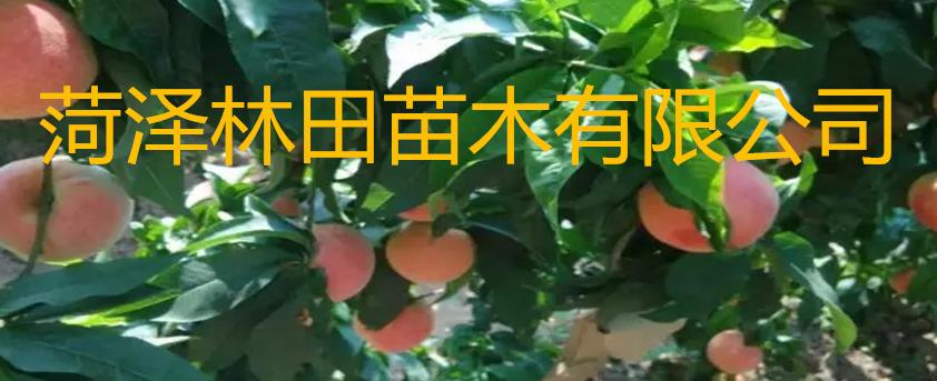 菏泽林田苗木有限公司
