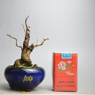 开花结果石榴实物 石榴盆景盆栽日本小叶石榴微型盆景104