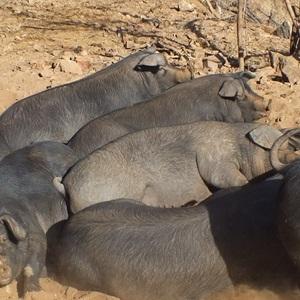河北黑猪繁育