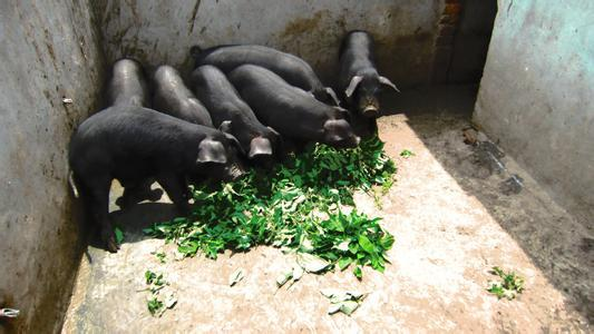 农家乐喂养黑猪