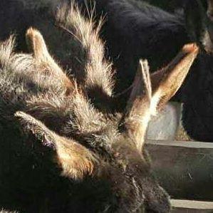 陕西宝马畜牧养殖黑色关中毛驴