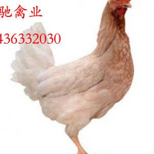 蛋鸡青年鸡养殖与销售