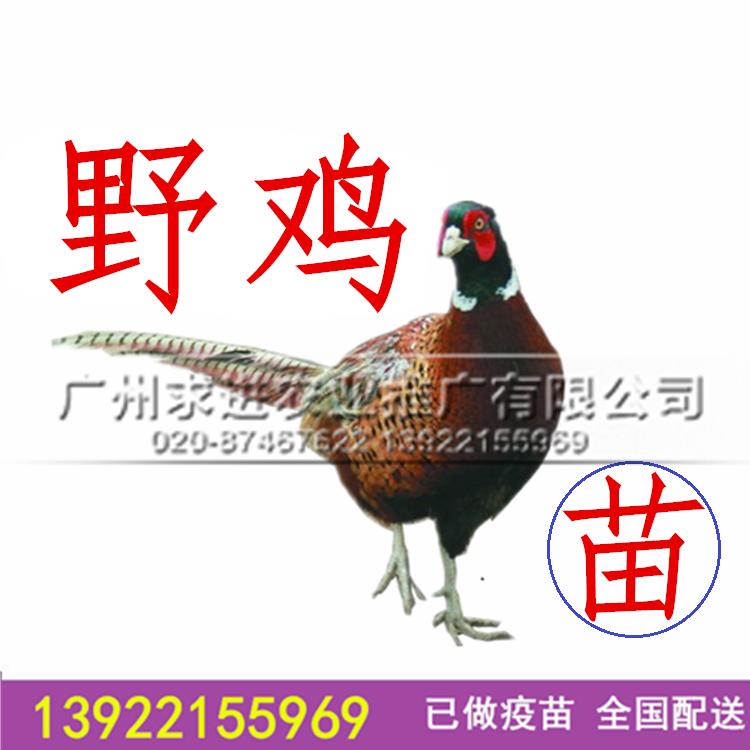 純種山雞種苗