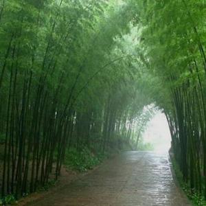 园林绿化竹子 毛竹1米高小苗