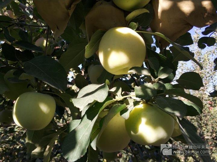 为什么阿克苏苹果有套袋果和光果,两者有什么区别?
