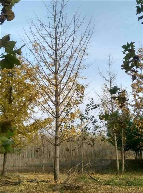 17cm银杏树价格|银杏树价格|阳光银杏苗圃场