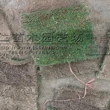草坪绿化工程苗批发价格 四季青草坪 马尼拉草坪