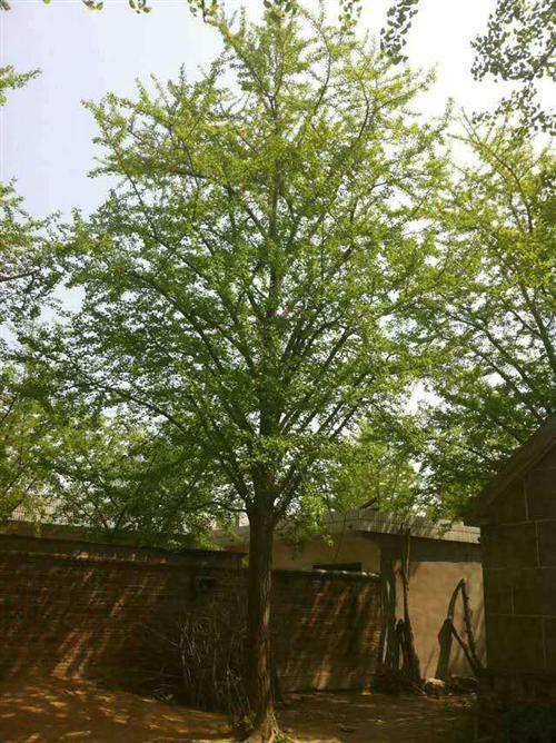 9公分银杏树价格、银杏树价格、阳光银杏苗圃场(在线咨询)