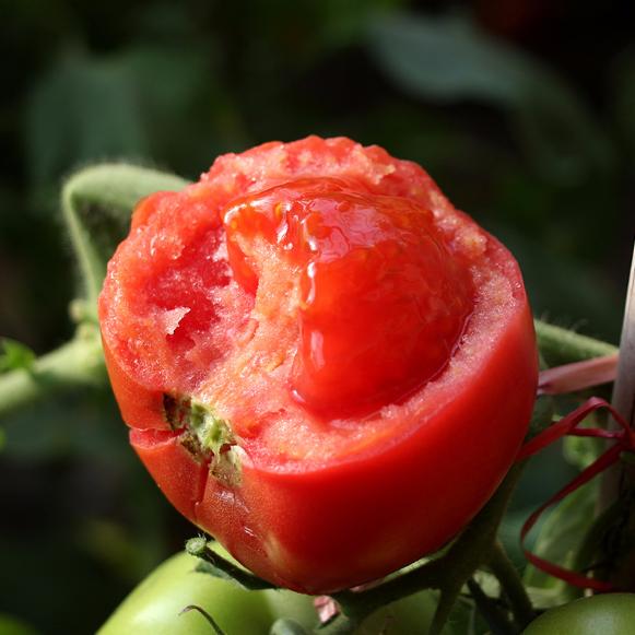 供应 新鲜自然熟西红柿新鲜蔬菜高粉番茄原产地直供
