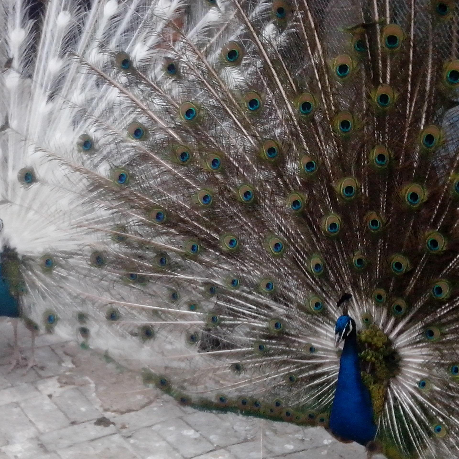 白孔雀养殖基地供应