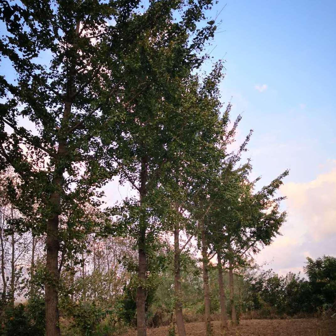 10公分银杏树              12公分银杏树