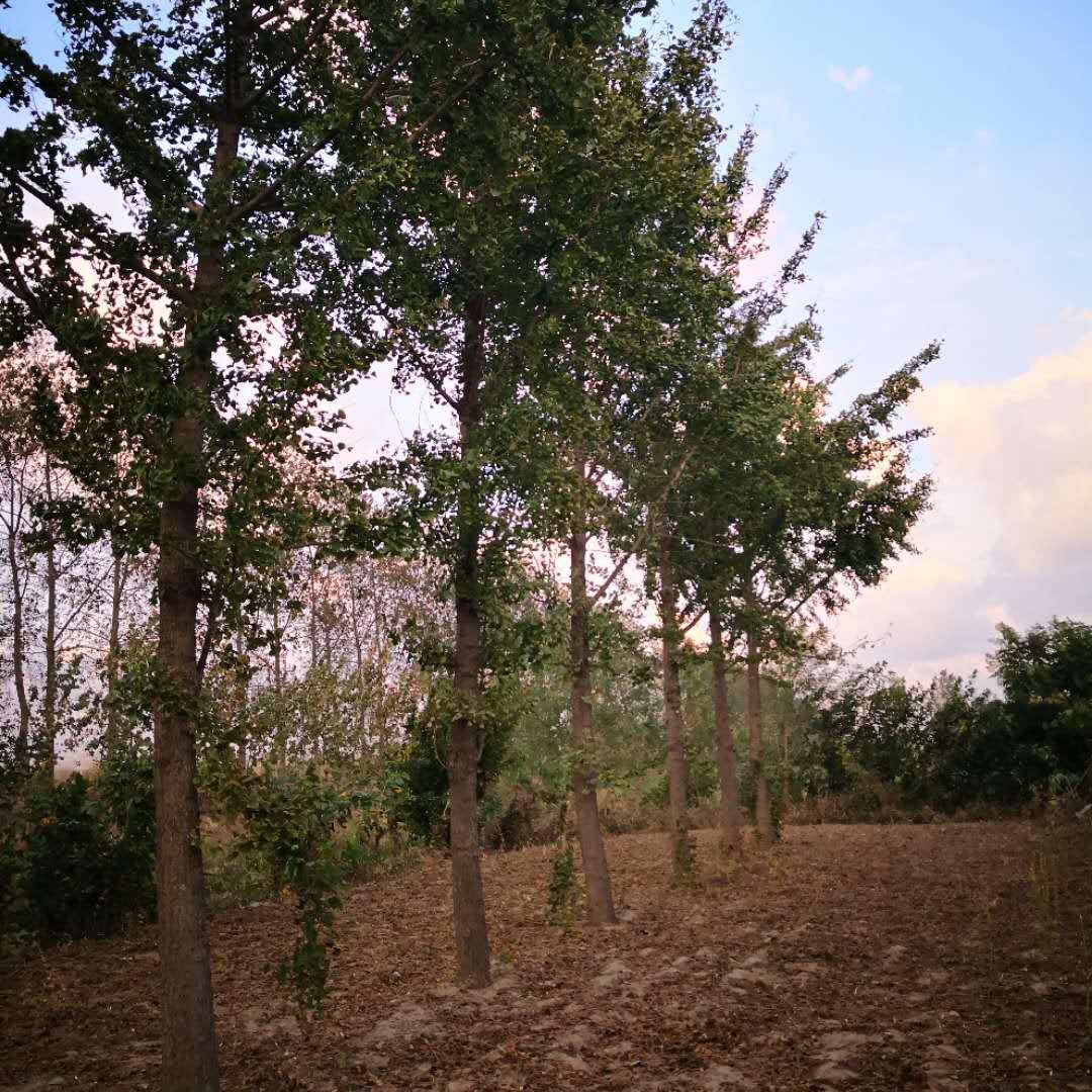 安徽15公分水杉18公分水杉