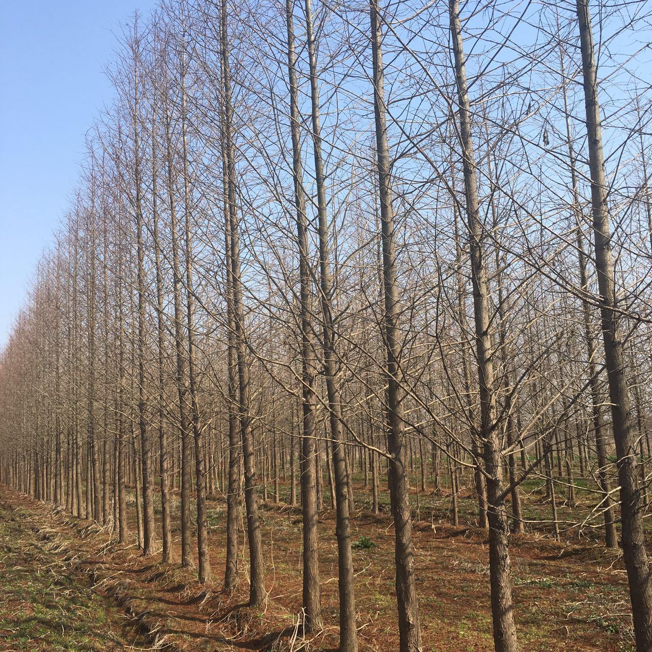 安徽10公分水杉12公分水杉