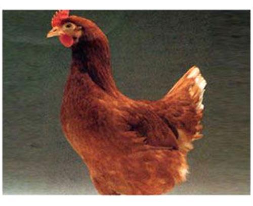 華帥青年雞(在線咨詢),廣安羅曼粉,羅曼粉殼蛋雞
