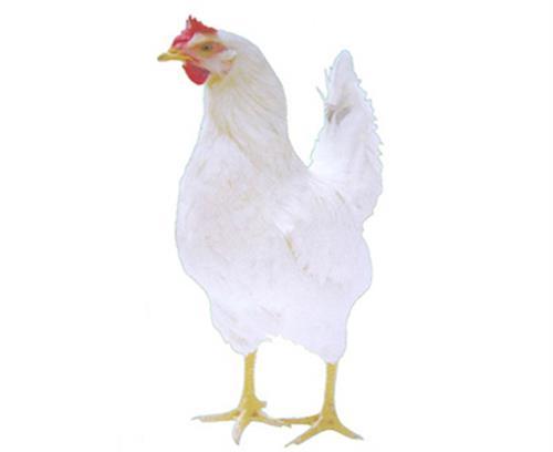 华帅青年鸡(在线咨询)_阳泉海兰褐鸡苗_海兰褐鸡苗直销/厂家
