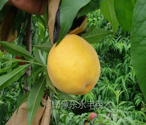 山东新品种桃苗|永丰种植桃苗批发|求购新品种桃苗