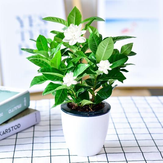 供应 栀子花盆景 室内桌面盆栽园艺花卉 带盆栽不含花苞