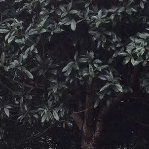 四川桂花工程苗木批发价格   成都精修剪 高分枝桂花 米径10公分桂花价格 米径15公分桂花价格